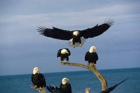eagle-flock